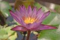 Water Lily Photographed In Nat...