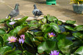 Water lily and pigeons Stock Photos