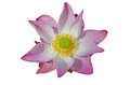 Water lily pink Royalty-vrije Stock Afbeelding