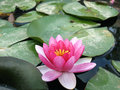 Water lily a pink floating in a pond Stock Images