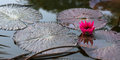 Water lily pink pond tranquil scene trinidad and tobago nature Stock Photos