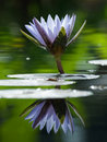Water Lily in the Pond Royalty Free Stock Photo
