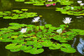 Water-lily in pond Stock Image