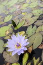 The water lily Royalty Free Stock Photo