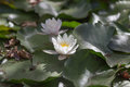 Water lily in the shady park on small pool Stock Photos