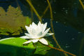 Water Lily, Skadar Lake Royalty Free Stock Photo