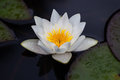 Water lily stock photo image of blooming after rain Royalty Free Stock Photos