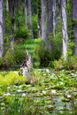 Water lily swamp Royalty Free Stock Photo