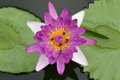 Water lily on top veiw Royalty Free Stock Photo