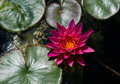 Water lily view from above a magenta floats in a green pond in a garden Stock Image