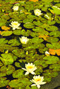 Water Lily on Water Stock Image