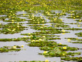 Water lily on water surface yellow of lotus flower Stock Photo