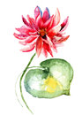 Water lily watercolor illustration of Royalty Free Stock Photos