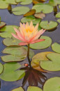 Water lily white pink nymphaea in the pond Royalty Free Stock Image