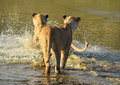 Into the water lions going in to Stock Images