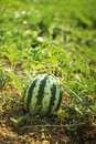 Water melon at green field is growing up Stock Photo