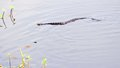 Water moccasin in wetlands, South Florida Royalty Free Stock Photo