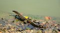 A water monitor on the bank Royalty Free Stock Image