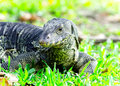 Water monitor lizard on green grass selective focus varanus animal Stock Photography
