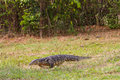 Water monitor lizard on the ground Stock Photo