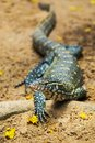 Water monitor lizard varanus salvator Royalty Free Stock Images