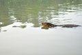 Water monitor swimming in pond Royalty Free Stock Photo