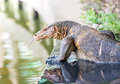 Water monitor the wild lizard Royalty Free Stock Photography