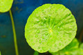 Water pennywort the scientific name is hydrocotyle umbellata l Royalty Free Stock Photography