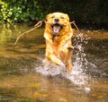 Water pet dog jumping in a river Royalty Free Stock Photography