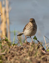 The Water Pipit Stock Image