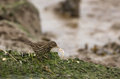 Water Pipit with fish Royalty Free Stock Photo