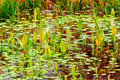 Water plants swamp Royalty Free Stock Photo