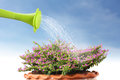 Water pouring watering flower can onto blooming Royalty Free Stock Image