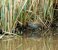 Water rail elusive at edge of reedbed Stock Photo