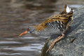Water rail in its natural habitat or rallus aquaticus on the shore of a lake looking for possible preys Stock Image