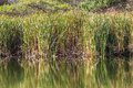 Water Reeds Mirror Colors Royalty Free Stock Photo