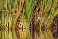 Water reeds reflections colors close color detail of with glass mirror Stock Images