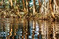 Water reflecting mangrove trees roots, Celestun, Yucatan, Mexico Royalty Free Stock Photo