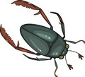 Water scavenger beetle on white background Royalty Free Stock Photography