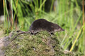 Water shrew neomys fodiens single on ground warwickshire july Stock Photography