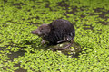 Water shrew neomys fodiens single on rock by warwickshire july Stock Image