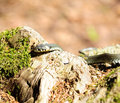 Water Snake (Natrix) Crawling on Wood Log Royalty Free Stock Photography