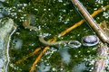 stock image of  Water snake natrix natrix swimming  in a pond