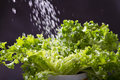 Water splashing lettuces Stock Photography