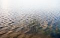 Water surface with visible water plants and reed stems near the bank young Stock Images