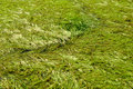 Water Swamp Green Grass Background Royalty Free Stock Photos