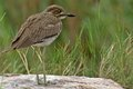 Water thick knee burhinus vermiculatus in kruger national park south africa Royalty Free Stock Photography