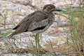 Water thick knee burhinus vermiculatus in kruger national park south africa Stock Image