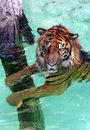 Water Tiger Royalty Free Stock Photo