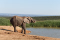 Water Time - African Bush Elephant